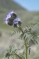Phacelia tanacetifolia