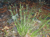 Carex multicaulis