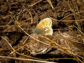 Coenonympha tullia