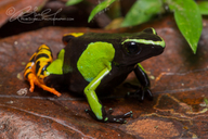 Baron's Painted Mantella