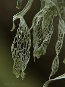 Ramalina menziesii