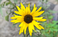 Helianthus winteri