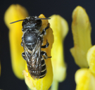 Megachile angelarum