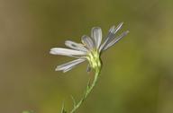 Symphyotrichum pilosum var. pringlei
