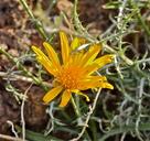 Machaeranthera pinnatifida ssp. goodingii