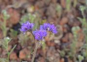 Phacelia crenulata var. minutiflora