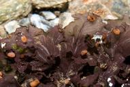 Peltigera gowardii