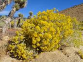 Ericameria nauseosa var. ceruminosa