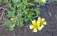 Layia chrysanthemoides