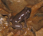 Collared Poison Frog
