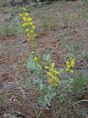 Thermopsis californica var. argentata