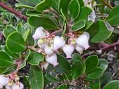 Arctostaphylos franciscana