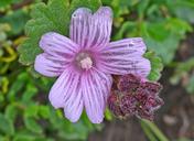 Sidalcea malviflora ssp. purpurea