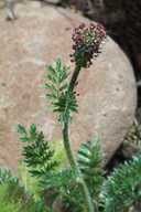 Acaena pinnatifida var. californica