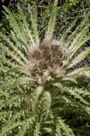 Cirsium scariosum