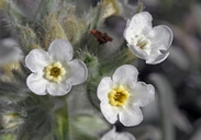 Yellow-eyed Cryptantha
