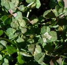 Trifolium variegatum var. major