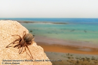 Persian Gulf Crevice Weaver