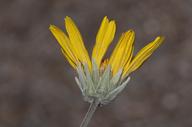 Enceliopsis nudicaulis var. nudicaulis