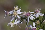 Symphyotrichum cordifolium