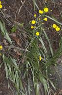 Pityopsis graminifolia var. latifolia