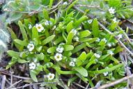 Plagiobothrys cognatus