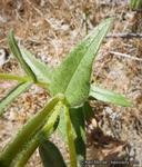 Layia heterotricha