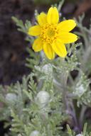 Pseudobahia heermannii