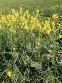 Brassica kaber