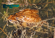 Eichwald's Toad