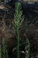 Conyza canadensis