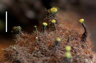 Mycocalicium sequoiae