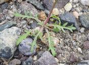 Nemacladus tenuis var. aliformis