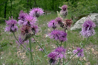 Fritschi's Greater Knapweed (?)
