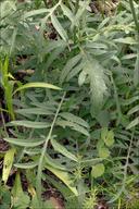 Centaurea scabiosa ssp. fritschii