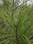 Pinus ponderosa var. benthamiana