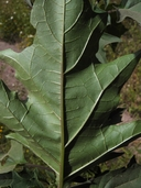 Datura stramonium var. stramonium