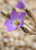 Gilia brecciarum ssp. neglecta
