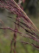 Metcalf's Muhly
