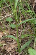 Dactylorhiza fuchsii ssp. fuchsii