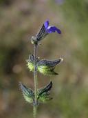 Salvia subincisa