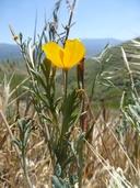 Eschscholzia lemmonii ssp. kernensis