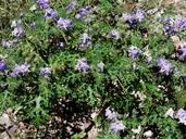 Solanum heterodoxum