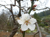 Prunus mume var. mume
