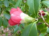 Camellia japonica var. macrocarpa