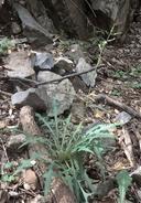 Lactuca tatarica var. pulchella