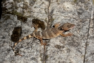 Flathead Knob-scaled Lizard