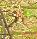 Euphorbia heterophylla