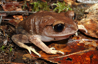Mountain Spadefoot Toad