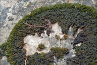 Ear-like Jelly Lichen